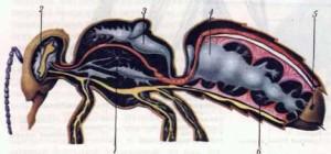 Органы дыхания: ; трахеи; 2 — воздушные мешочки головы; 3 — грудные воздушные мешочки; 4 — воздушные мешочки брюшка; 5 — дыхальца; 6 — разветвления трахейных трубочек.