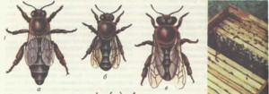 особи медоносной пчелы и ее гнездо в улье (а — матка, б — рабочая пчела, в — трутень);