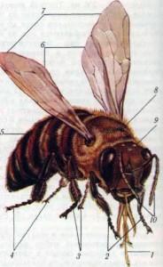 Внешний вид пчелы: 1 — хоботок; 2 — передние ножки; 3 — средние ножки; 4 — задние ножки; 5 — брюшко; 6 — задние крылья; 7 — передние крылья; 8 — грудной отдел; 9 — голова, to — усики.