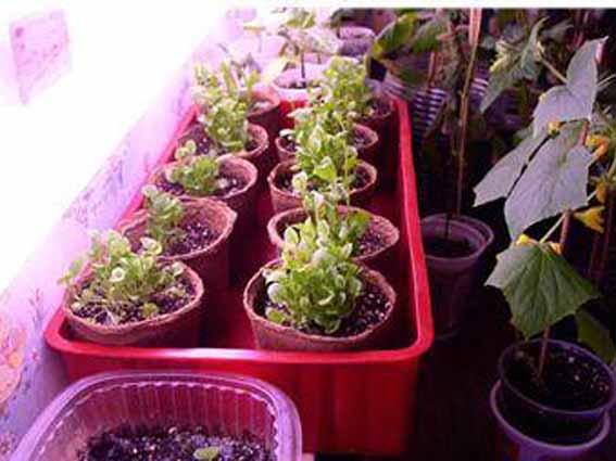 Выращивание рассады начинается в феврале