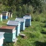 Пчелы в августе