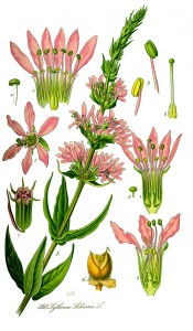 Illustration_Lythrum_salicaria1
