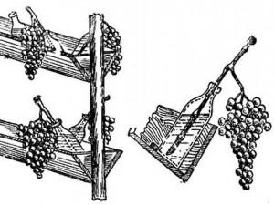 Для длительного хранения рекомендуется срезать грозди с частью лозы и ставить в бутылки с водой