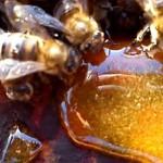 Подкормка пчел сахаром и варроатоз