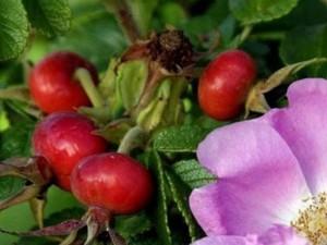 Сорт шиповника с гигантскими плодами