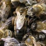 Элитные пчеломатки
