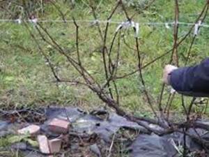 Четыре этапа формирования винограда