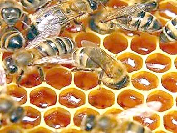 фото пчелы и меда