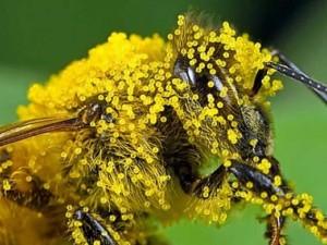 Рецепты приготовления лечебных препаратов из пыльцы и перги