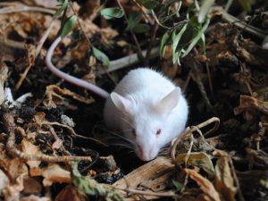Мышь в огороде