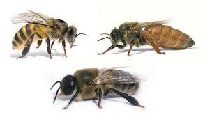 В состав пчелиной семьи входит матка (справа), рабочие пчелы (слева) и трутни (внизу)
