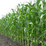 Урожайность силосной кукурузы
