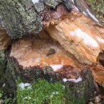 Как обработать дерево от гниения